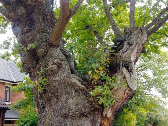 Photograph of The old oak Lydia Mews, Welham Green, North Mymms - September 2018 Image by North Mymms News, released under Creative Commons BY-NC-SA 4.0
