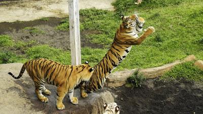 Harimau Sumatera Mangsa 13 Ternak Warga di Pasaman