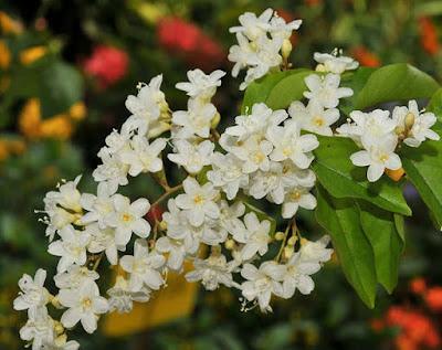 ต้นลดาวัลย์ (Snow creeper) ไม้ดอกหอม Porana volubilis