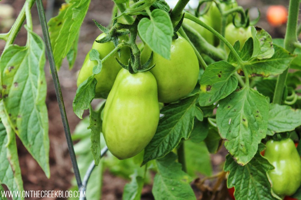 Roma tomato plant with green tomatoes