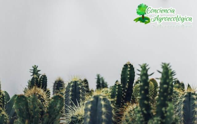 simplemente cactus
