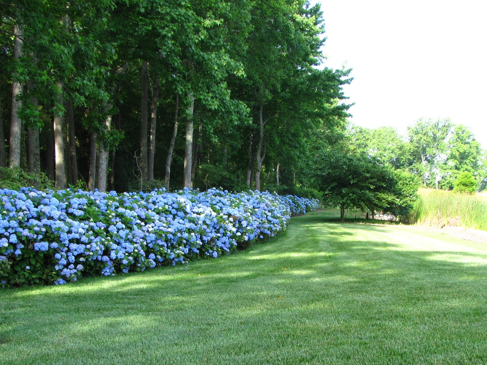 Views from the Garden: Create hydrangea hedge for privacy
