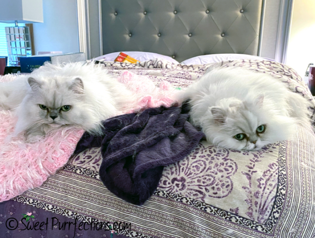 two silver Persian cats resting on the end of the bed, facing the camera
