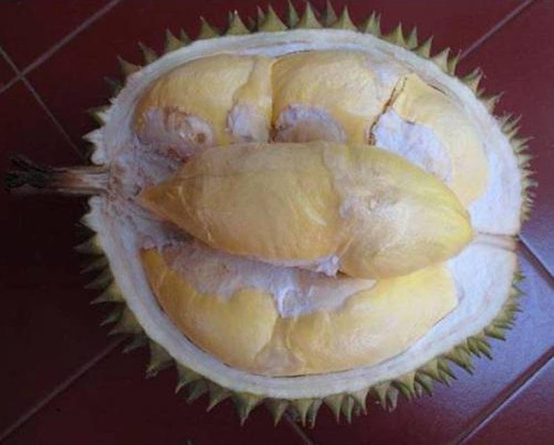 bibit tanaman buah durian bawor kaki 3 Gorontalo