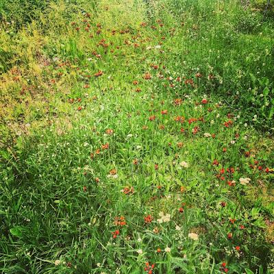 oranssivoikeltanoita niityllä