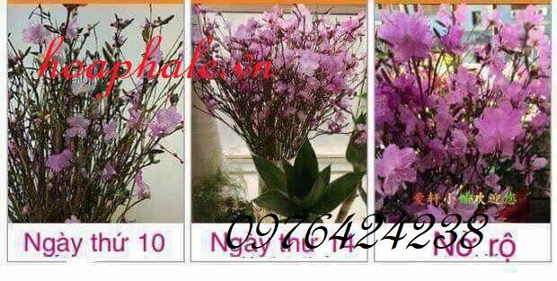 Hoa do quyen ngu dong tại SonTay