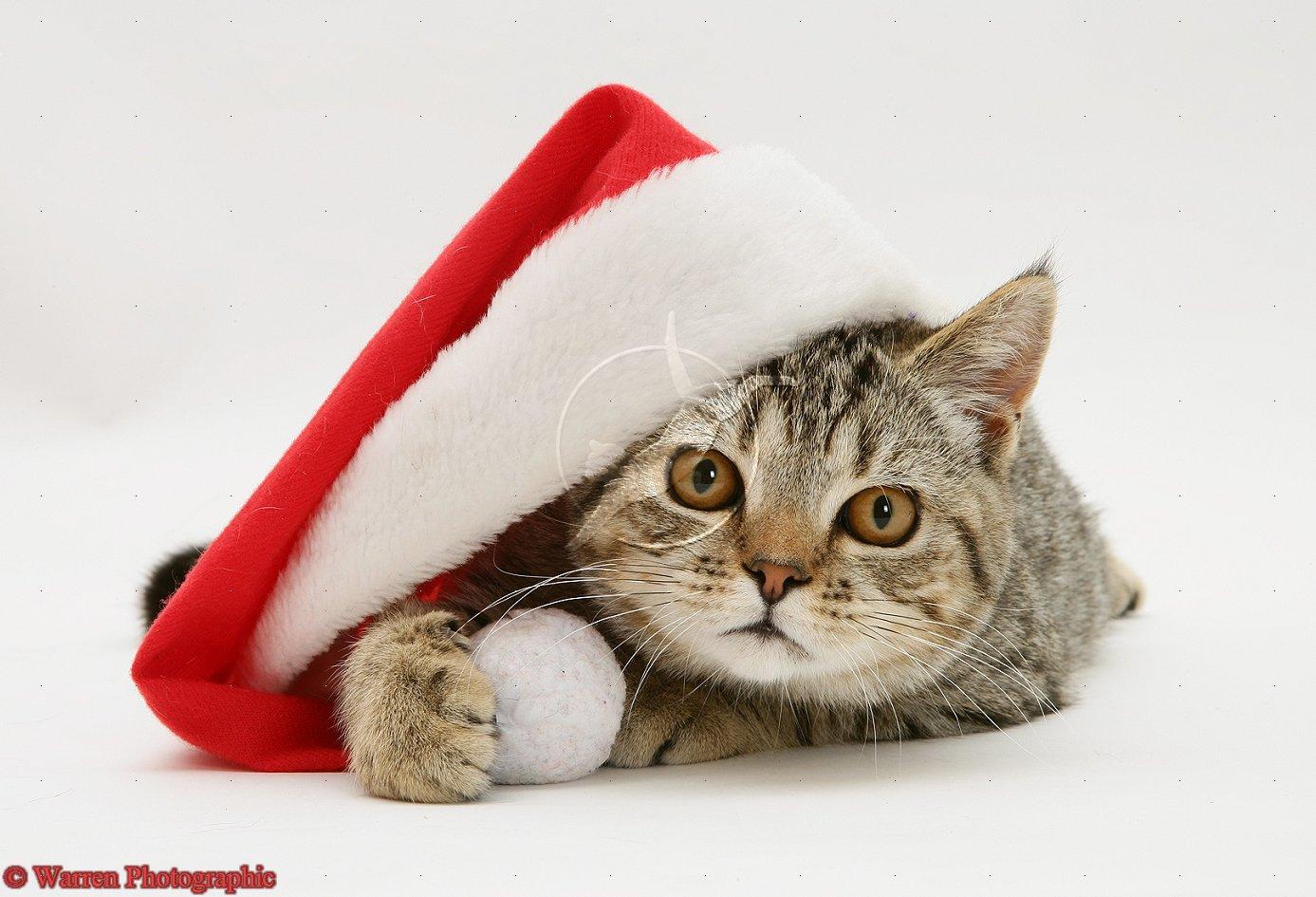 Hwfd Cute Cat With Santa Hat High Resolution Hd