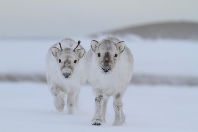 Baby Animals: two teeny reindeer