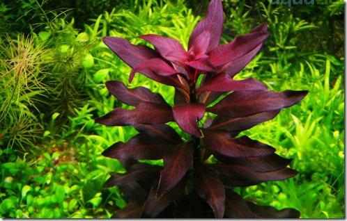 Màu đỏ mê hoặc của cây thủy sinh hồng điệp