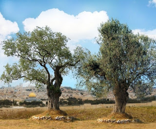 As duas oliveiras dos dois castiçais de Apocalipse 11