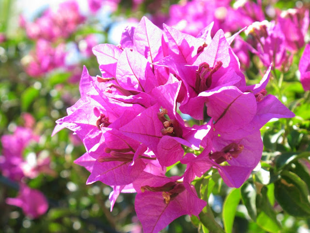 bright pink beautiful Bougainvillea in Greece