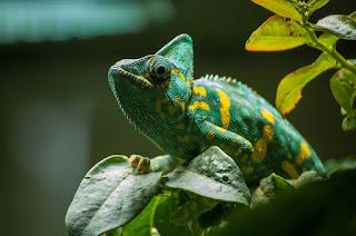 About Chameleon in hindi - गिरगिट मजेदार बातें।