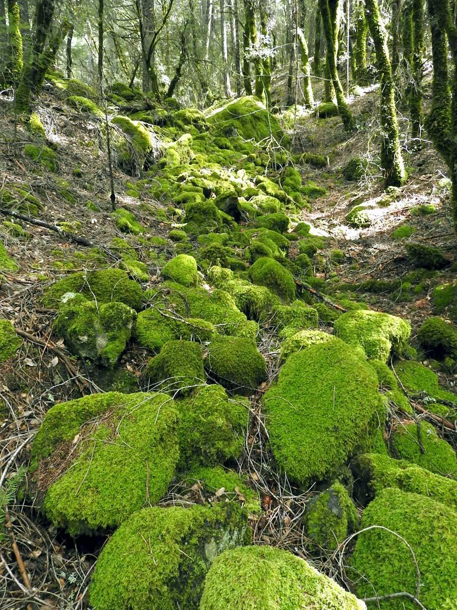 North Yuba Naturalist  Moss  Lichen  U0026 Fungi