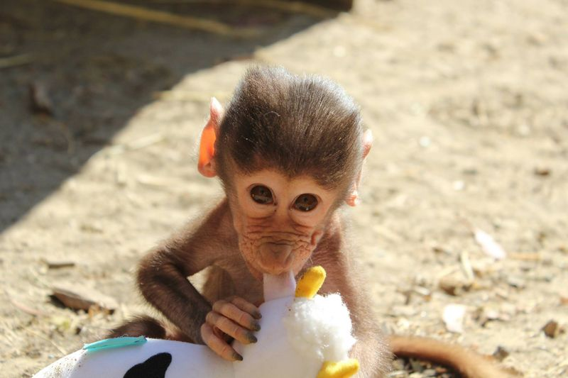 Baby Animals: Baboon infant 10