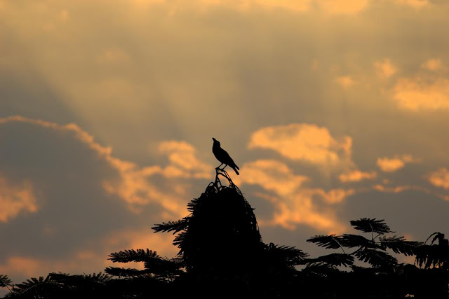 skywatch, crow, treetop, bandra east, evening, clouds, sunset, mumbai, india