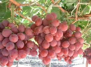 Buruan Beli! Bibit Tanaman Buah Anggur Red Globe Segar Kota Bandung #Jual Bibit Buah Genjah