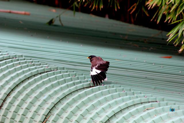 Myna - Bird Photography