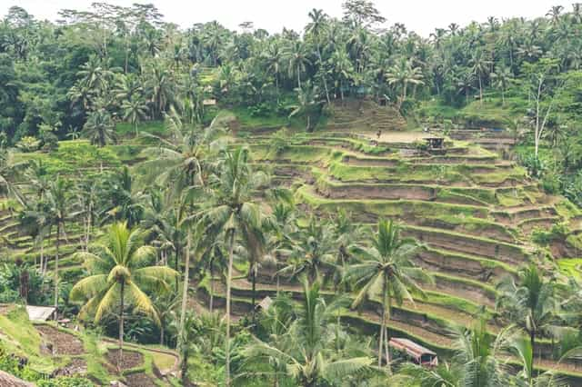 A farm with coconut trees.