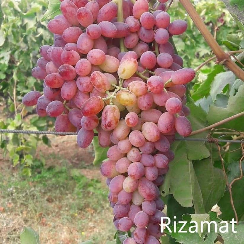 Bibit Anggur Import 125 Aceh