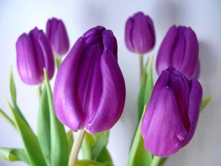 Gambar Bunga Tulip Cantik 4
