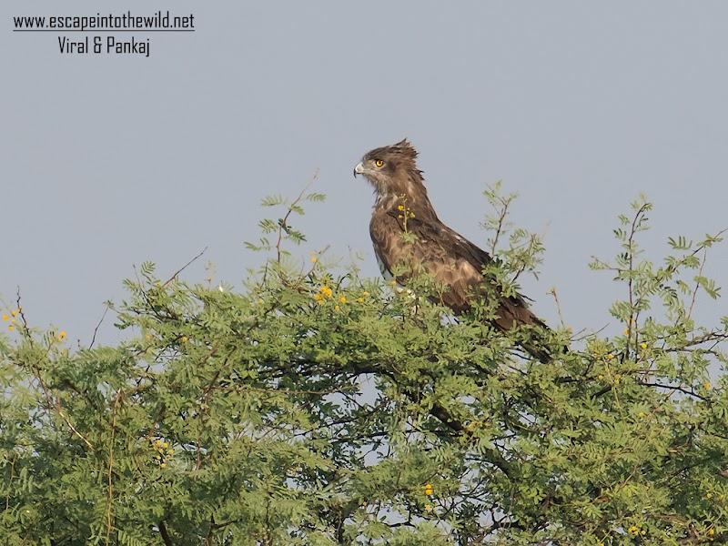 Short-toed Snake Eagle and Black Drongo - yaari chhute na