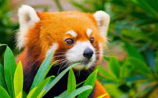 animals, red panda, cute red panda