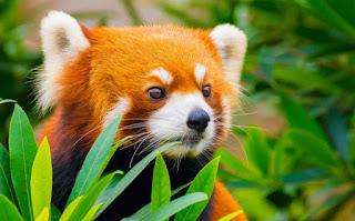 animals, red panda, cute red panda