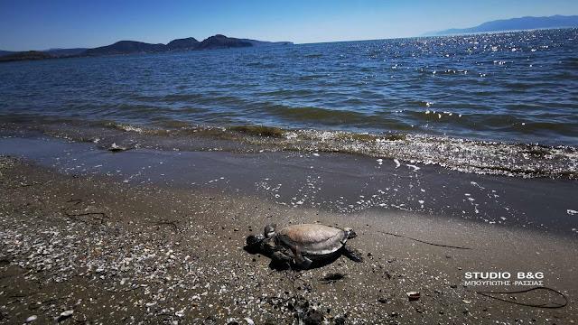 Νεκρή θαλάσσια χελώνα καρέτα καρέτα στην Αργολίδα (βίντεο)