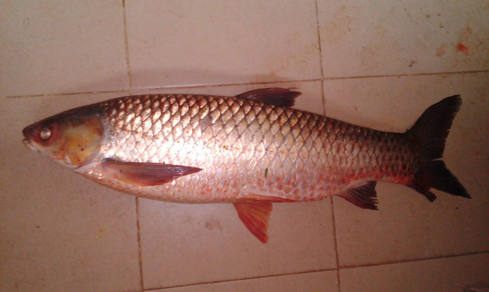 Kisah Ikan Tongsan ~ Hakim Akasisa