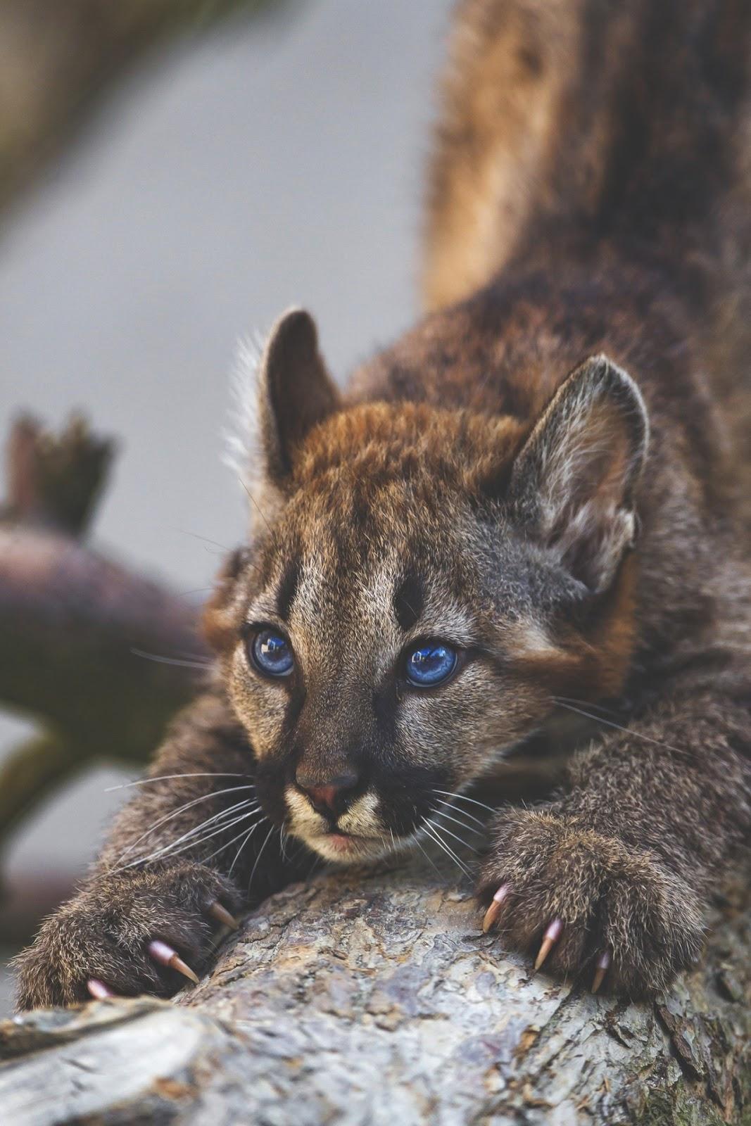 blue eyes puma bigcat