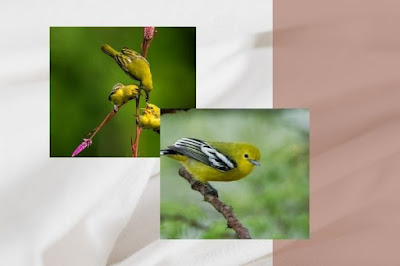 Jenis Burung Cipoh