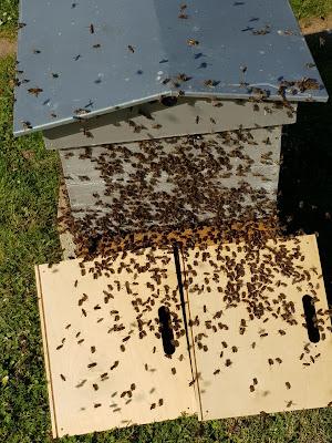 abeilles n'en font qu'à leur tête…le premier essaim l'année sorti.