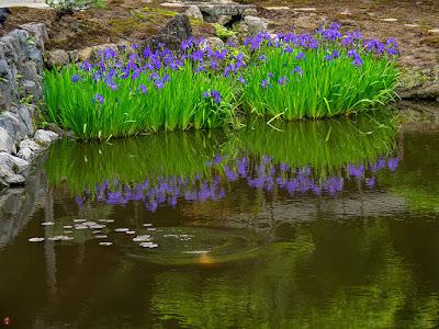 Kakitsubata (Iris laevigata) flowers: Kaizo-ji