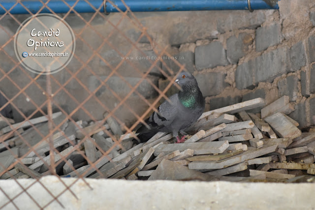 Pigeons seeking a safe haven