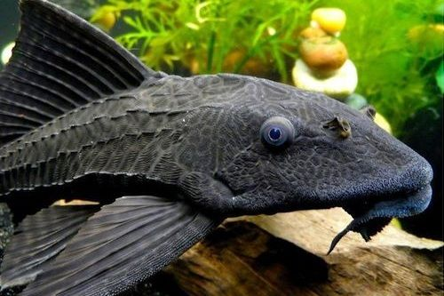 Ikan Pembersih Kolam Koi