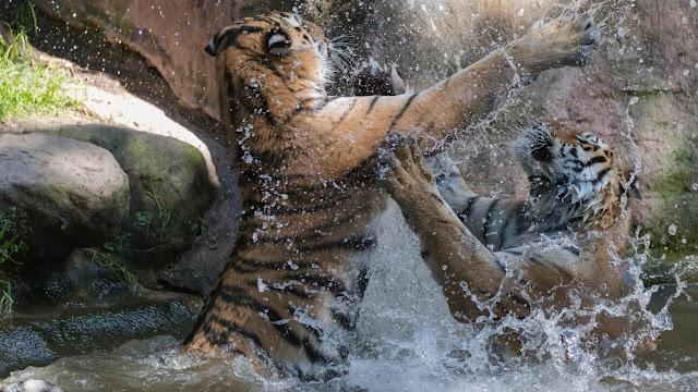 Perbedaan macan dan harimau