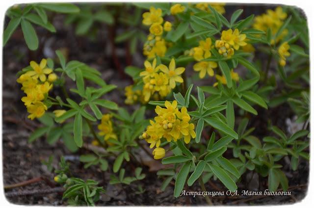 zagadki-pro-vesennie-cvety-podsnezhniki-leontica-altajskaya