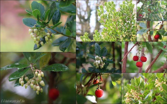 arbutus unedo arbousier arbre aux fraises