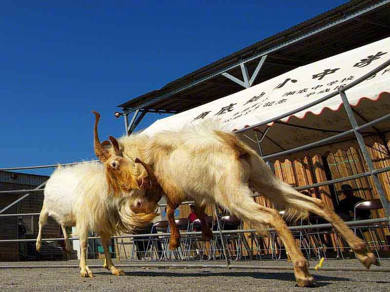 goats fighting