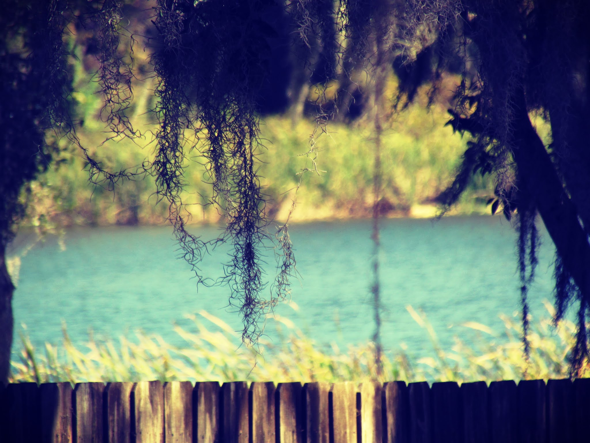 A picture perfect view of a freshwater lake in Florida with a wooden fence, tall grasses, blue calm waters, and Spanish moss hanging off of oak trees where the oak men live