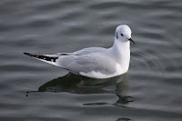 Bonaparte's gull, nonbreeding plumage, Bolsa  Chica Ecological Reserve, CA, by Basar