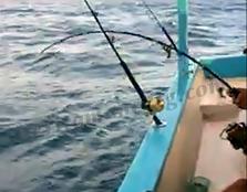 Mancing Ikan Baby GT Lambat Naiknya