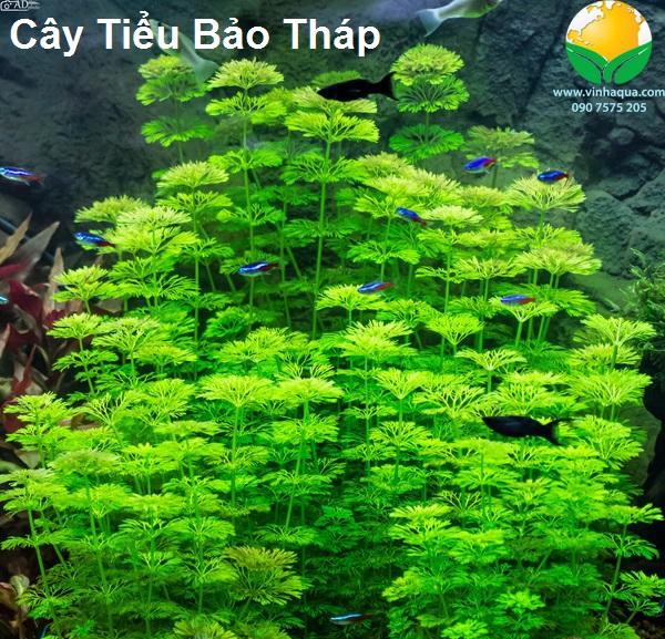 Vẻ đẹp của cây thủy sinh Tiểu Bảo Tháp