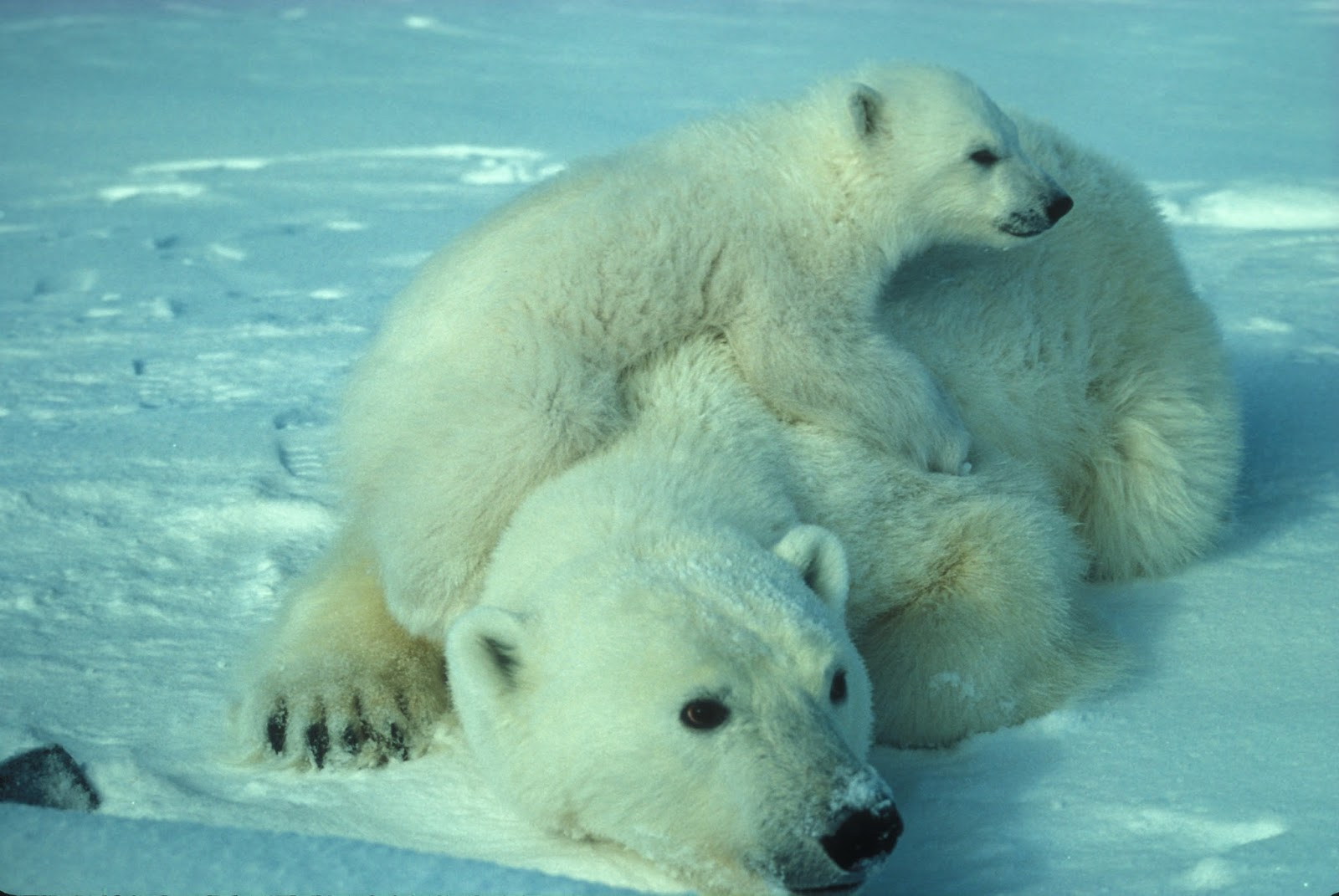 Picture of a mother and baby polar bear.