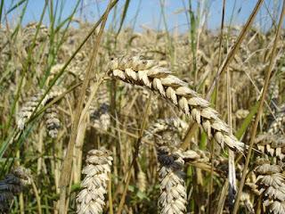 Wheat buying in kota region.