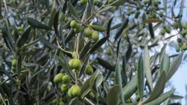 الزار يحذر من إدخال أي نوع من الزيتون إلى تونس