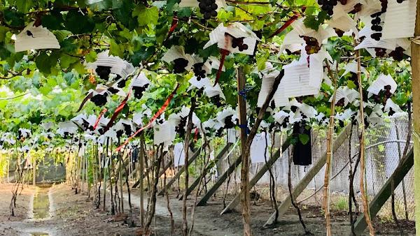 台電彰化挺在地農產品 採購逾3千斤葡萄端午節送禮