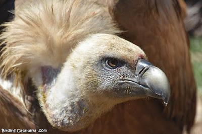 Voltor comú alimentant-se