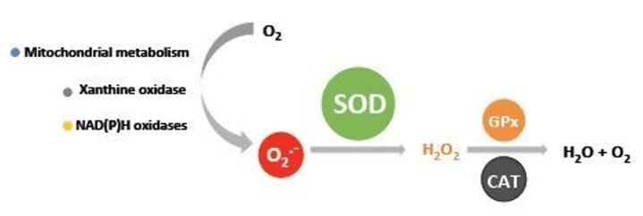 Action of SOD