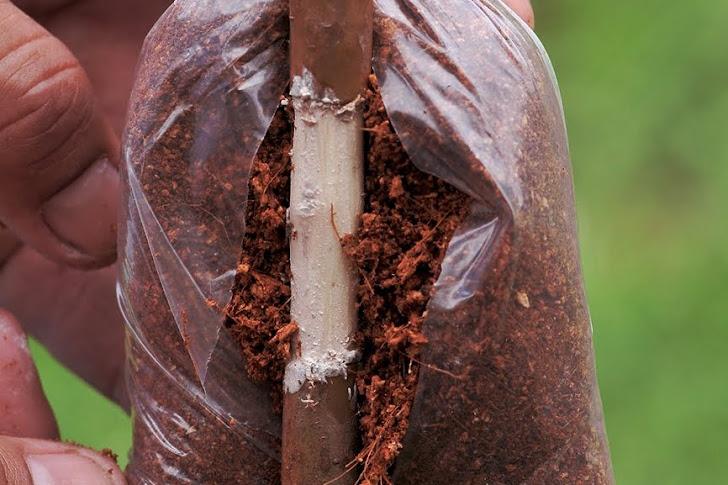 Apa Saja Keuntungan Mencangkok Dalam Bidang Pertanian Tradisional?